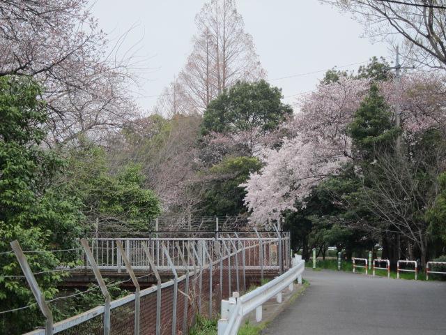 見沼用水路の桜